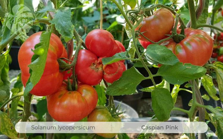 Tomate Caspian Pink