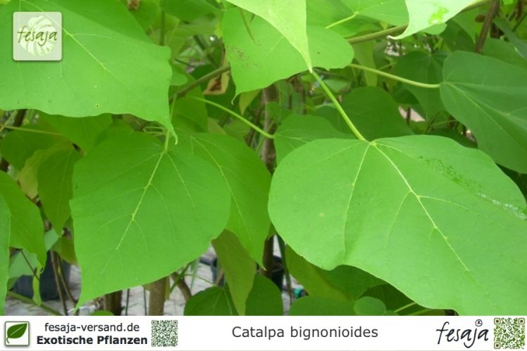 beamtenbaum catalpa bignonioides pflanze fesaja versand. Black Bedroom Furniture Sets. Home Design Ideas