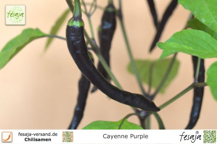 Cayenne Purple