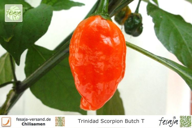 Chili Trinidad Scorpion Butch T