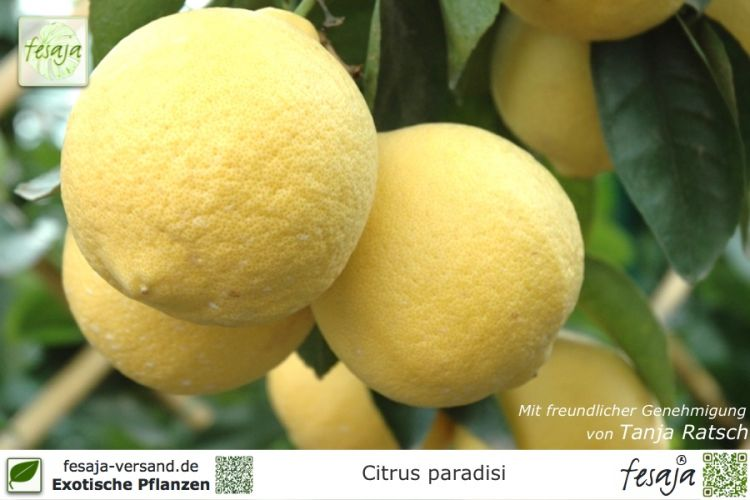 Citrus paradisi Marsh seedless Pflanzen