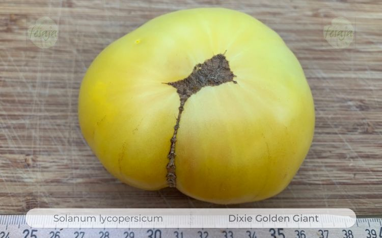 Tomate Dixie Golden Giant