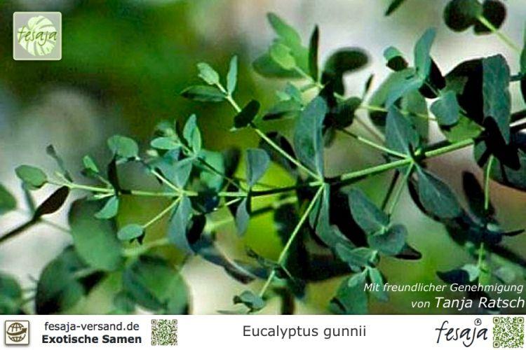 mostgummi eukalyptus eucalyptus gunnii fesaja versand