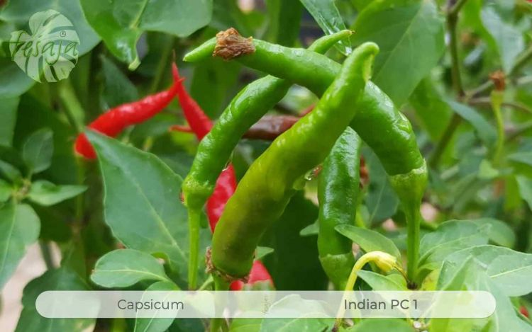 Indian PC1, Capsicum, Chili