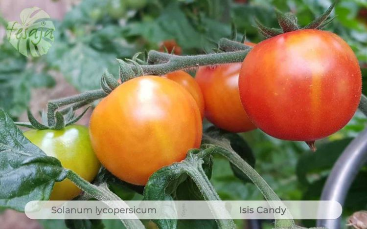 Tomate Isis Candy