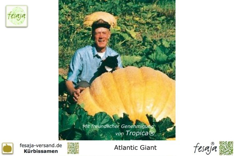 Kürbis Atlantic Giant