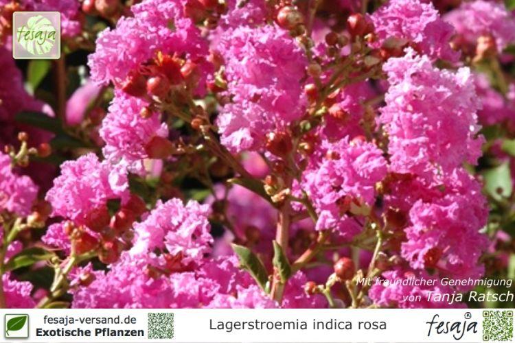 rosa kreppmyrte lagerstroemia indica rosea pflanze fesaja versand. Black Bedroom Furniture Sets. Home Design Ideas