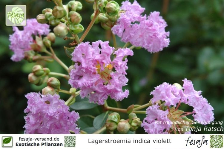 flieder des s dens violett lagerstroemia indica pflanze. Black Bedroom Furniture Sets. Home Design Ideas