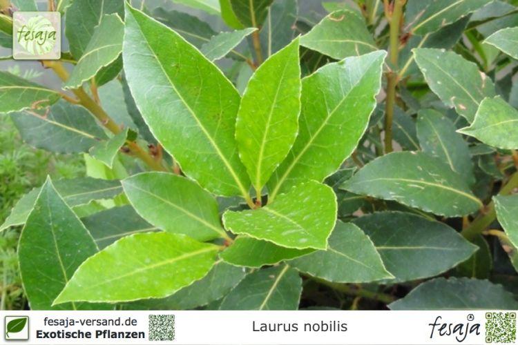echter lorbeer laurus nobilis pflanze fesaja versand On pflanzen versand