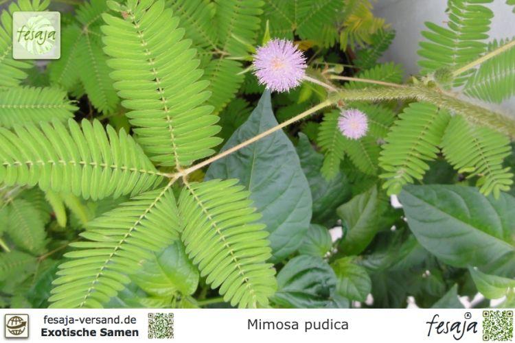 tolle MIMOSE klappt bei Berührung ihre Blätter zusammen