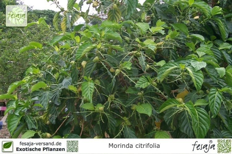 indische maulbeere morinda citrifolia pflanze fesaja versand. Black Bedroom Furniture Sets. Home Design Ideas
