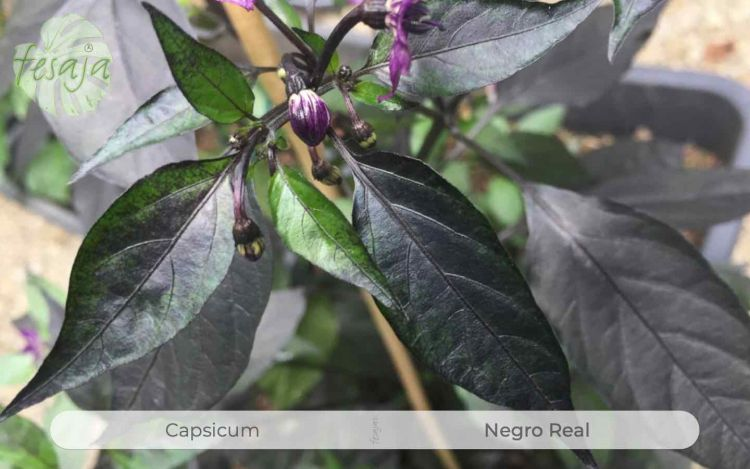 Negro Real, Capsicum, Chili