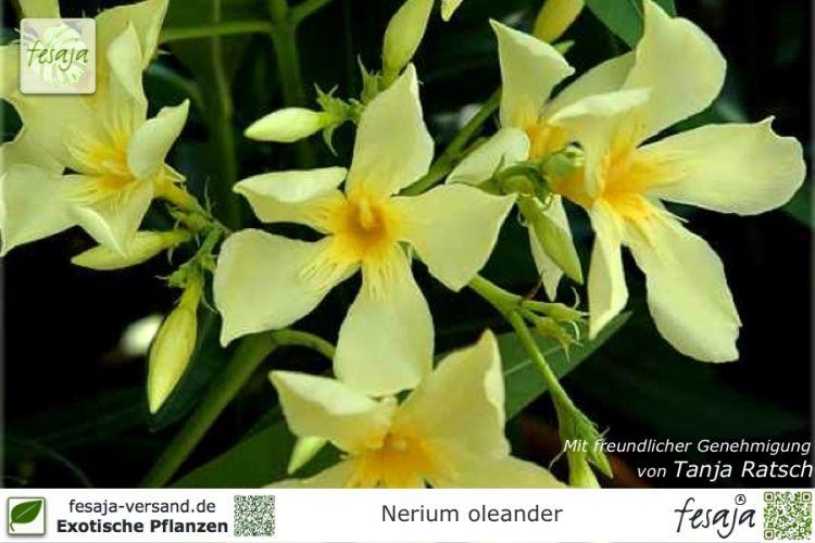 oleander gelb nerium oleander pflanze fesaja versand. Black Bedroom Furniture Sets. Home Design Ideas