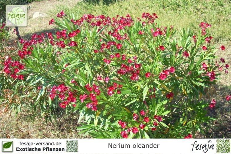 Nerium oleander Pflanze rot