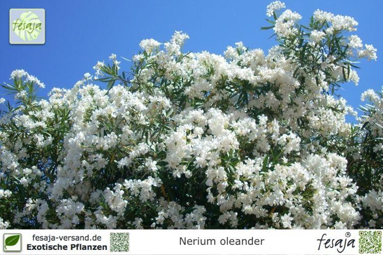 oleander weiss nerium oleander pflanze fesaja versand. Black Bedroom Furniture Sets. Home Design Ideas