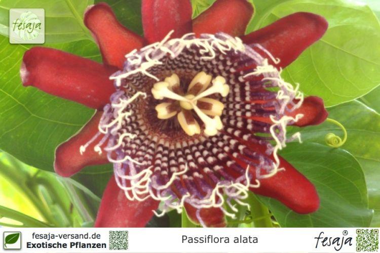 riesen granadilla passiflora alata pflanze fesaja versand. Black Bedroom Furniture Sets. Home Design Ideas