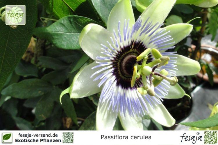 blaue passionsblume passiflora caerulea pflanze fesaja versand. Black Bedroom Furniture Sets. Home Design Ideas