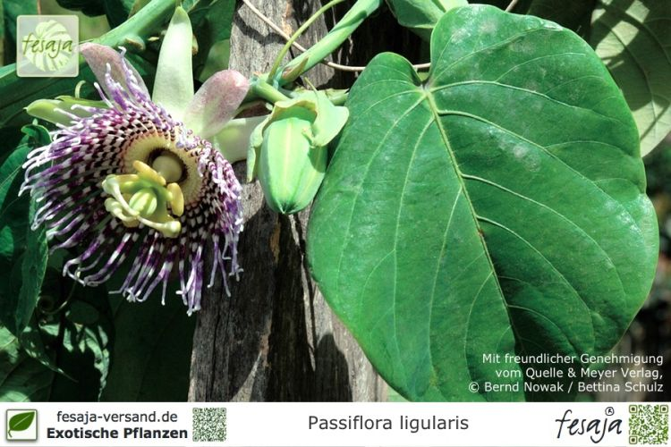 Passiflora ligularis Pflanzen