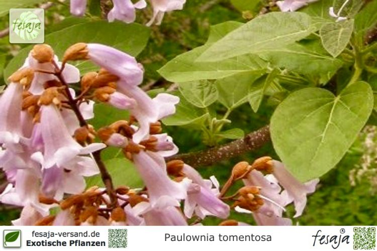 blauglockenbaum paulownia tomentosa pflanze fesaja versand. Black Bedroom Furniture Sets. Home Design Ideas