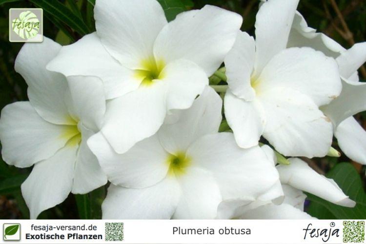 frangipani wei plumeria obtusa pflanze fesaja versand. Black Bedroom Furniture Sets. Home Design Ideas