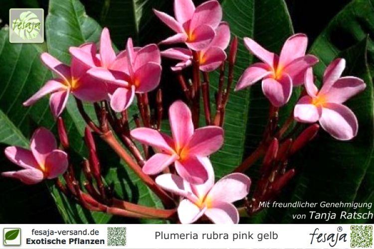 frangipani pink gelb plumeria rubra pflanze fesaja versand. Black Bedroom Furniture Sets. Home Design Ideas