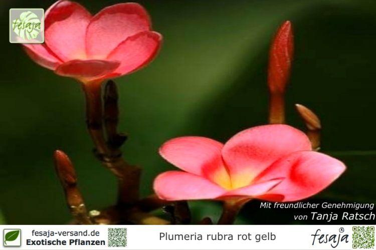 frangipani rot gelb plumeria rubra pflanze fesaja versand. Black Bedroom Furniture Sets. Home Design Ideas