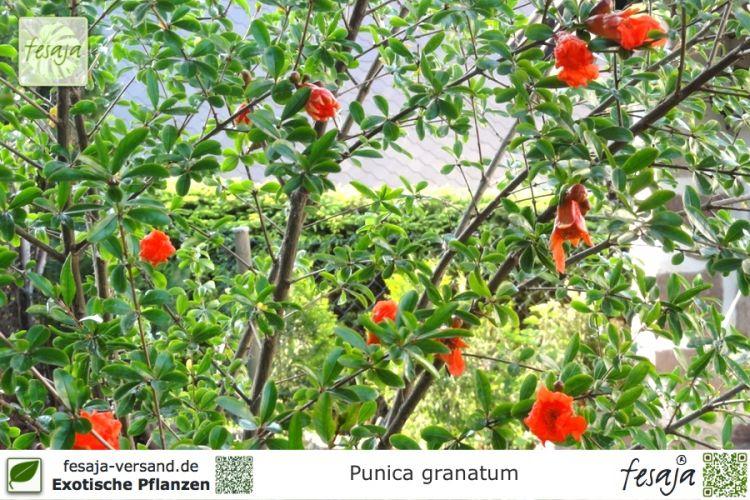 granatapfel punica granatum pflanze fesaja versand. Black Bedroom Furniture Sets. Home Design Ideas