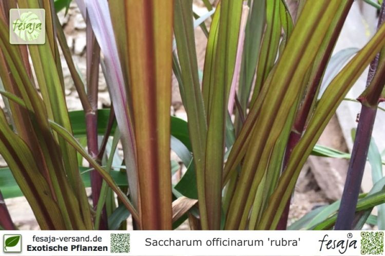 Saccharum officinarum 'rubra' Pflanzen