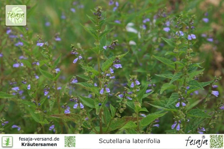 Scutellaria laterifolia