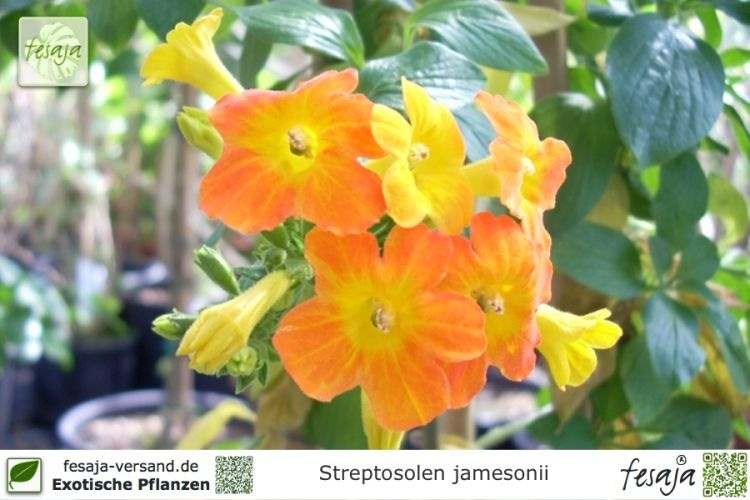 Streptosolen jamesonii Pflanzen
