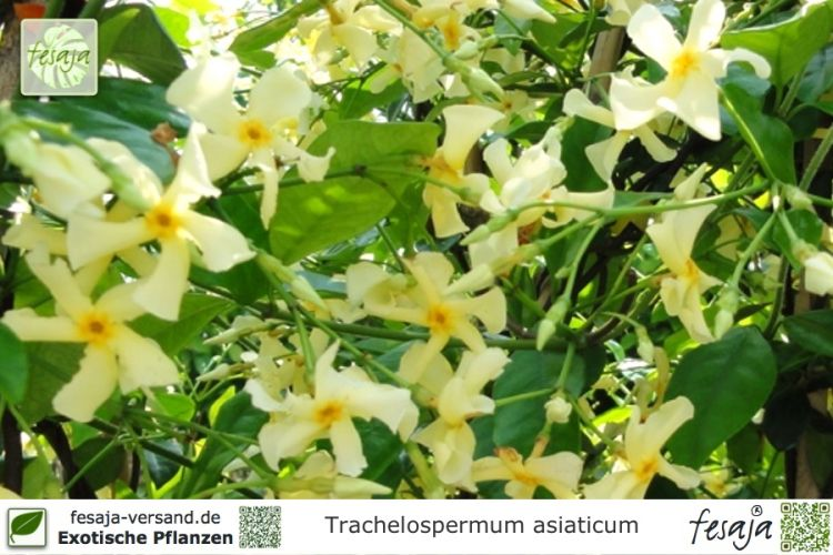 gelber sternjasmin trachelospermum asiaticum pflanze fesaja versand. Black Bedroom Furniture Sets. Home Design Ideas