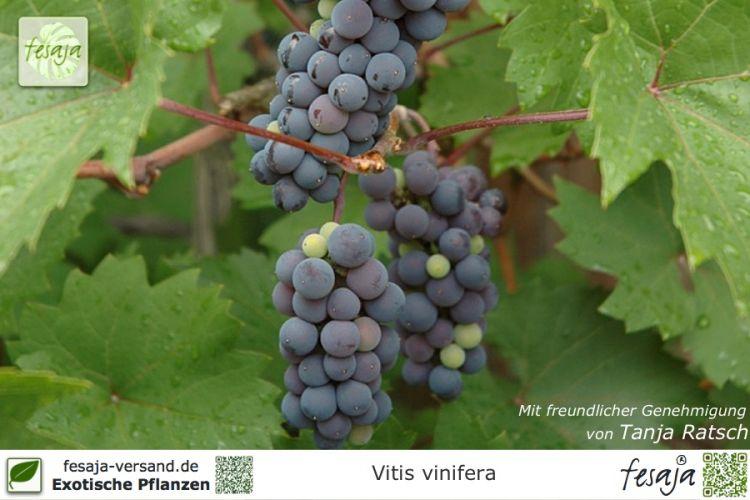 weinreben weintrauben vitis vinifera pflanze fesaja versand. Black Bedroom Furniture Sets. Home Design Ideas