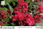 Flieder des Südens rot, Lagerstroemia indica, Pflanze