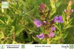 Echter Salbei, Salvia officinalis
